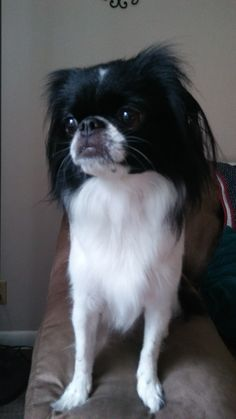 Akoya... beautiful Japanese Chin!