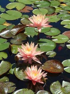 Water lily, Pink Grapefruit