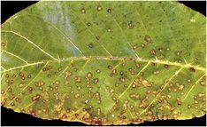 A dió betegségei és a védekezés lehetőségei - Agroinform.hu Plant Leaves, Plants, Plant, Planets