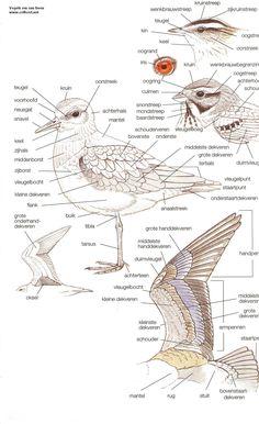 long bill vs small billed dowitcher - Google Search Bird Identification, Science Biology, Bird Illustration, Elementary Science, Kids Education, Natural History, Beautiful Birds, Pet Birds, Strand