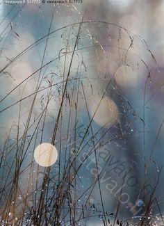 Lokakuun heiniä - heinä heinät sinisävyinen sinertävä sinisyys valopallo valopallot heijastus heijastukset heinikko pisara pisarat syksy kaste aamukaste