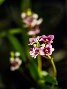 Sarcochilus hybrid. Australian native orchid.