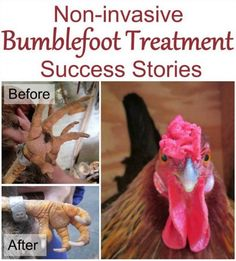 Non Invasive Bumblefoot Treatment And Success Stories | Cure your chicken's infected feet with a proven effective and non-invasive bumblefoot treatment.