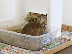 Rabbits make wonderful indoor companions in part because they can be litter box trained, just like cats! Follow these steps to litter train your pet rabbit.