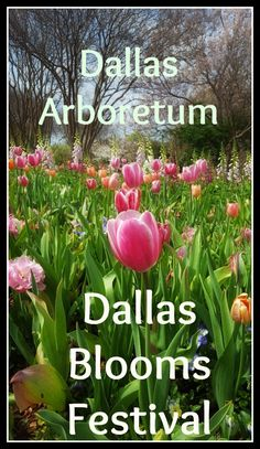 The Dallas Blooms Festival at the Dallas Arboretum is a riot of colour. I especially adore the tulips! Beautiful flower show in Texas. (USA)