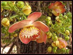 Ton sala langka or sala tree (couropita guianensis) - Also known as the cannonball tree for obvious reasons. The flower has a beautiful smell, and rich Buddhist symbolism. Some say the Buddha was born under a Sala, and he died stretched out between two. Unusual Flowers, Flora, Cannon, Plants, Google Search, Branches, Inspiration, Gardens, Pintura