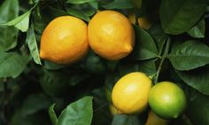 Gardens - Info on different types of citrus trees... I've asked Will for a lemon or lime tree for my bday, hopefully he'll be able to find one! :)