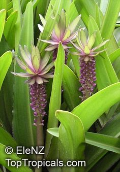 Pineapple Lily Bulb Eucomis Bicolor Very Exotic Flowers RARE - Google Search