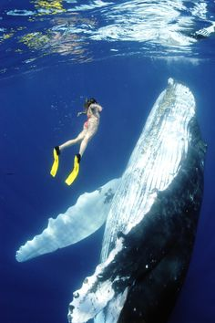 Swim with a full size adult whale in the ocean and have eye to eye contact with it.