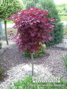 Cerveny javor na zahradu.