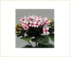 Royal Daphne Pink - Bouvardia - Flowers and Fillers - Flowers by category | Sierra Flower Finder