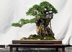 Pemphis Bonsai