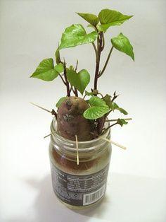 Home Grown Potatoes