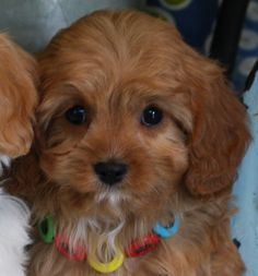 Cavapoo Puppy Cavachon Puppies, Cavapoo, Puppys, Puppy Trainer, American Cocker Spaniel, Poodle Mix, Animals Of The World, Puppy Love, Cute Pictures