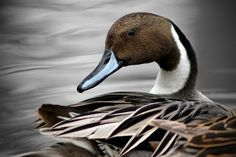 Pintail Drake grooms himself while resting during the migration    Submitted by Jerehmy Griffiths