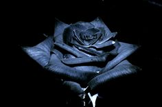 Black-Roses-Wallpapers-Pictures-Hd.jpg