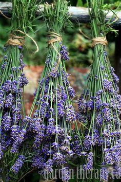 Bunches of drying lavender via www.gardentherapy.ca.