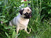 Pug - Wikipedia, the free encyclopedia