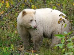 A remarkable sub-species of the North American Black Bear - the Kermode Bear, aka the spirit bear. Living along the shorelines and central interior of British Columbia on the west coast of Canada, around ten percent of Kermode bears have white or creamy coats.