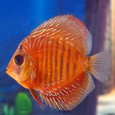 Red Snakeskin Discus (1)