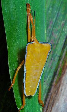 ˚Golden Stink Bug Nymph (Cressona divaricata, Phyllocephalinae)