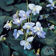 Freckled Violet (aka Viola sororia 'Freckles') Native to Eastern North America; blooms mid-spring to early summer; perennial; partial to full sun