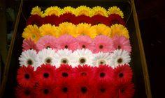Gerbera Daisies Types Of Flowers, Fresh Flowers, Gerbera Daisies, Flower Show, Daisy, Color, Flower Types, Margarita Flower, Colour