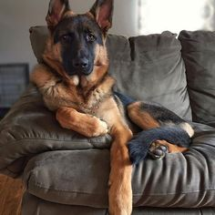 Wicked Training Your German Shepherd Dog Ideas. Mind Blowing Training Your German Shepherd Dog Ideas. Big Dogs, I Love Dogs, Cute Dogs, Dogs And Puppies, Doggies, Funny Dogs, Funny Memes, German Shepherd Puppies, German Shepherds