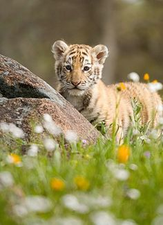 """""""I'm about to frolic in this lovely meadow!"""" Tiger Cub by Jim Miotke. Most Beautiful Animals, Beautiful Cats, Beautiful Creatures, Big Cats, Cute Cats, Baby Animals, Cute Animals, Animal Babies, Gato Grande"""