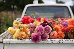 "peone: "" Dahlia Time at Floret Flower Farm | A Creative Mint """