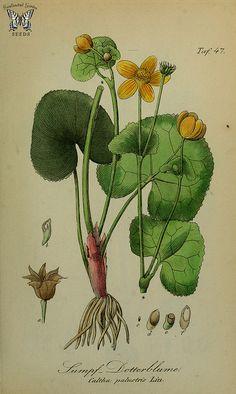 Marsh Marigold, Kingcup. Caltha palustris. Sammtlich Giftgewache Deutschlands (1854) | by Swallowtail Garden Seeds