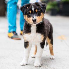 Caesar, Australian Shepherd (10 w/o), W 12th & Greenwich St., New York, NY