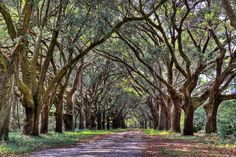 Oak canopy road