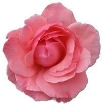 Bildresultat för rose