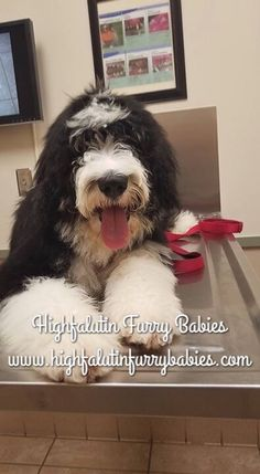 4 month old Bernedoodle puppy from Highfalutin Furry Babies