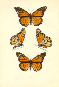 Pictures of monarch butterflies, beautiful butterflies, butterfly illustration, butterfly drawing, butterfly print Monarch Butterfly Tattoo, Butterfly Tattoos Images, Butterfly Tattoo On Shoulder, Butterfly Drawing, Butterfly Painting, Butterfly Wallpaper, Tattoo Images, Tulip Drawing, Butterfly Quotes