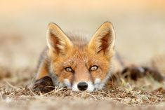 What Does The Fox Think..? by Roeselien Raimond - Photo 124564253 - 500px