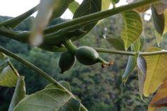 Noix de la ferme des SIGNAUX - Producteur de Noix de Grenoble AOC AOP Aop, France, Fruit, Walnut Oil, Farm Gate, French