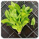 Organic Winter Bloomsdale Spinach