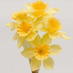 Narcissus Display Flowers