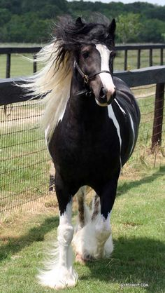 Gypsy Vanner Stallion named Warlock's Jagged Knight or just Jag.