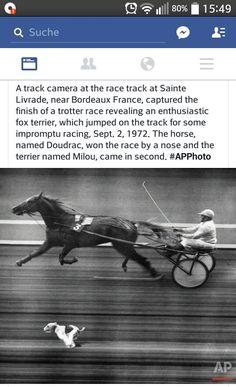Race Parson Russell Terrier, Bordeaux France, Jack Russells, Fox Terrier, Racing, Horses, Dog, Vintage, Fotografia