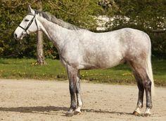 Cornet's Son, a Westphalian gelding. German Horse Center.