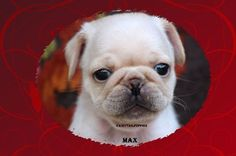 """Fairytailpuppies """"where pets are family too - MAX"""