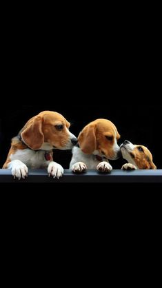 I'll take all three, please. So cute! Of course, I suppose three beagles would be quite a handful . . . . #Beagle