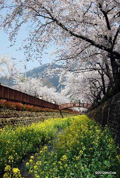 Cherry Blossoms of Chinhae, Korea 2008 Spring