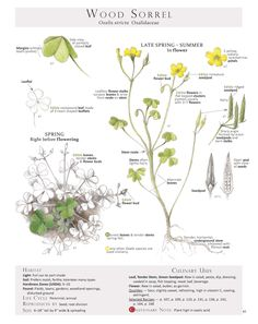 Selected pages from the book Foraging and Feasting: A Field Guide and Wild Food Cookbook by Dina Falconi and Illustrated by Wendy Hollender. These Plant Identification Pages are useful when identifying Wild Edible Plants in the field. Botanical Drawings, Botanical Art, Botanical Illustration, Healing Herbs, Medicinal Plants, Oxalis Acetosella, Wood Sorrel, Green Pesto, Edible Wild Plants
