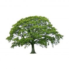 Image from http://www.oaktree-lucky21.com/5254384-oak-tree-in-full-leaf-in-summer-isolated-over-white-background.jpg.