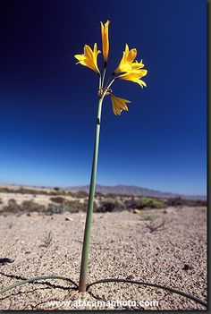 Yellow lily or Ananuca amarilla After a rare rainy winter flower start sprouting in the normally extremely dry desert. Unusual Flowers, Rare Flowers, Tiny Flowers, Desert Flowers, Winter Flowers, Chile, Tiny Flower Tattoos, Dry Desert, Fauna