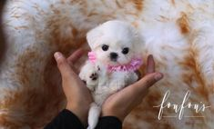 Welcome to FouFou Puppies. The Home of the World's Most Exquisite Teacup Maltese for Sale. Contact Us Today to Reserve Your Puppy! Ask for Our 'Special Order' Option. We Can Locate Your Dream Puppy! Micro Maltese, Teacup Maltese For Sale, Maltese Puppies For Sale, Fluffy Puppies, Black Lab Puppies, Teacup Puppies, Maltese Dogs, Little Puppies, Corgi Puppies